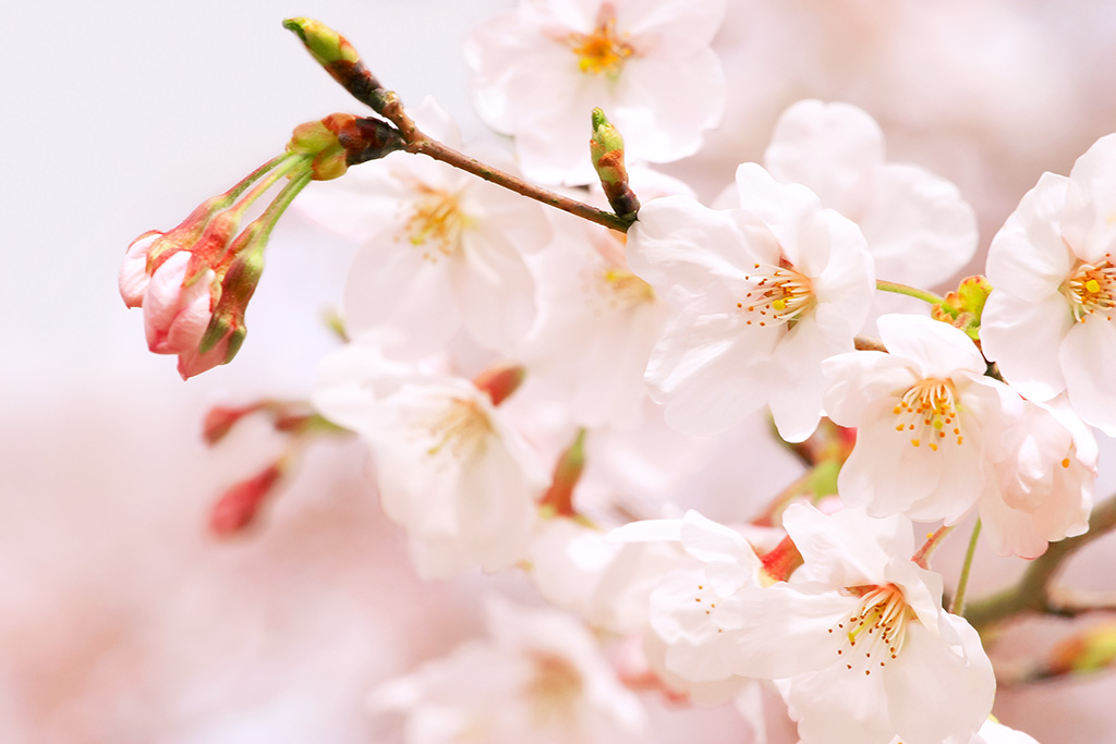 桜が満開の画像